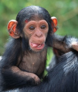 chimpanzee-baby-being-nurtured-by-mother-pan-troglodytes-chi-2